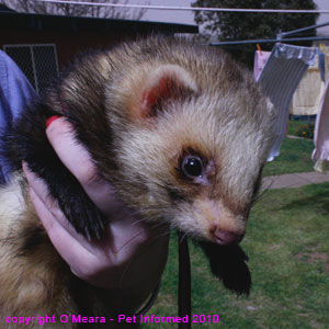 Ferret sexing pictures - a large male (hob or jack) ferret.