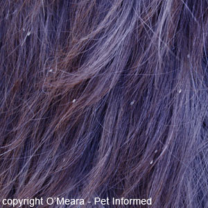 Pictures of lice - These are horse lice clinging to the horse's outer coat.