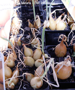 Onions and related plants can be planted to repel vermin rodent pests.