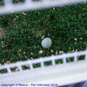 Bird sexing pictures - a canary egg is small and blue-grey.
