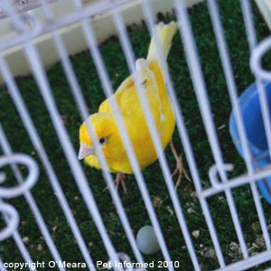 Bird sexing pictures - a female canary with her egg.