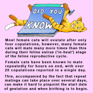 Detailed information on feline copulation and ovulation as it affects the cat gestation period.