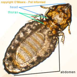 Lice photo - Lice have three main body parts: a head, a thorax and an abdomen (labeled) and, like most other insects, lice have six legs (three on each side) that originate from the underside of the mid-section of the body (thorax).