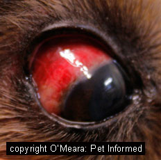 A dog with severe bruising of the sclera possibly due to rodent poison ingestion.