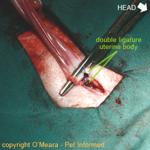 Double ligating in spaying procedures. A second ligature is placed around the uterine body for added protection.