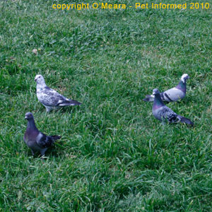 Male pigeons dance and coo loudly to attract females.