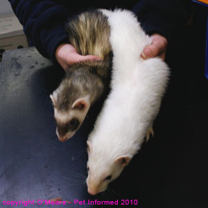 Ferret sexing - male (white) and female (polecat) ferret photos.