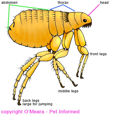 Flea anatomy diagram - this is what the flea basically looks like.