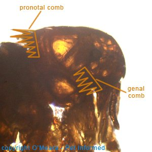 Flea pictures - Spilopsyllus - the rabbit flea.