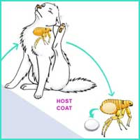 Flea Life Cycle 1 - The adult flea lays her eggs on the host animal
