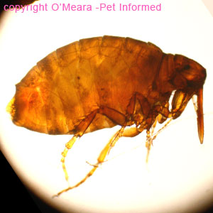 Flea life cycle pictures - an adult stickfast flea.