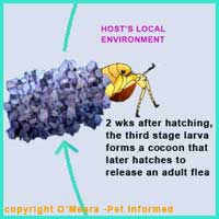Flea Life Cycle 6 - The cocoon hatches and an adult flea comes out, looking for mates and a host animal to feed on.