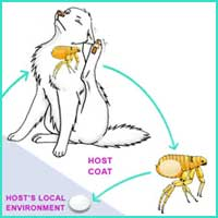 Flea Life Cycle 2 - The egg falls off the fur into the environment of the host animal.