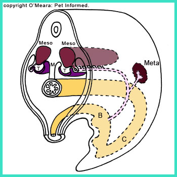 There is a pathway from the embryo yolk sac to the developing testes. Germ cells migrate up this path, lodge in the testicles and begin to produce sperm.