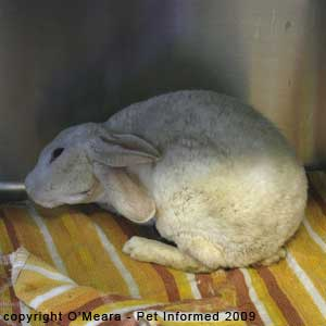 A rabbit with a head tilt (torticollis) as a result of a bacterial ear infection.