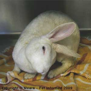 Ear mites in rabbits - a rabbit with a head tilt due to a rabbit ear infection.