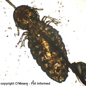 Lice pics - This is a photograph of the horse biting louse. The abdomen of the louse is the large rear section, behind the thorax and legs.