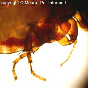 What do fleas look like - this is a picture of a flea's back legs. It uses these to leap from host to host.