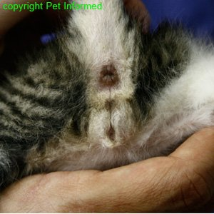 Sexing kittens - The scrotal sac is not clearly visible in this 3-week-old male kitten because its testicles are very small and its scrotum not yet fully developed.