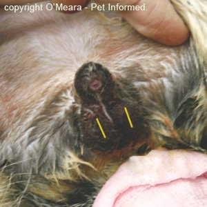 The lines indicate the site of each scrotal incision made with the scalpel during feline neutering surgery.