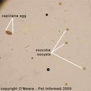 Fecal float parasite pictures - bird Capillaria eggs and avian coccidia oocysts on a fecal flotation test.