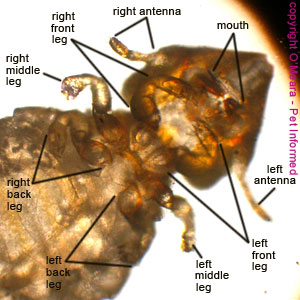 Lice photo - The six legs of the biting louse, protruding from beneath the thorax, are clearly visible, as are the biting mouthparts