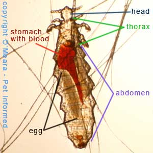 Lice pictures - This is an adult mouse louse. Her stomach is red because she sucks the blood of her host to survive.