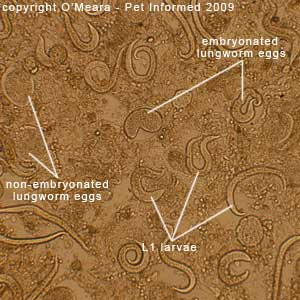 Faecal float parasite pictures - Nests of lungworm eggs and larvae in a smear of a lungworm infested kitten lung.