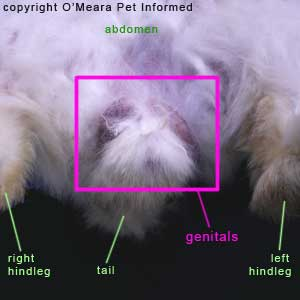 Sexing rabbits picture - The genital region of a male rabbit. The rabbit's genital region is clearly evident and outlined with a pink box.