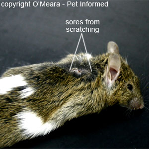 Pictures of lice in mice - The photos of this mouse illustrate the severe scratching and self-trauma that can occur as a result of lice infestation.