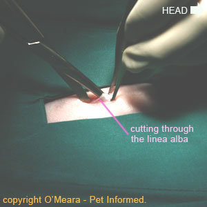 Cat or dog spaying procedure picture - The abdominal wall is incised along its midline, by cutting along the linea alba (white line).