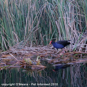 Sexing birds photos - the male purple swamphen has a larger facial shield.