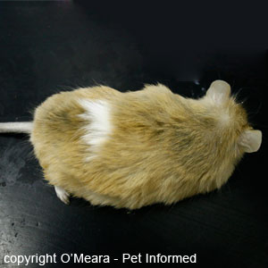 Mouse lice pictures - These lice pictures show a mouse with a moderate to severe lice infestation.