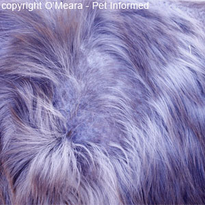 Horse louse pictures - The horse's coat is coarse and rough and of poor quality and bears many patches of thinly-haired to hairless bald spots, where the horse has broken the hairs scratching and rubbing itself up against trees and fences to relieve the lice.