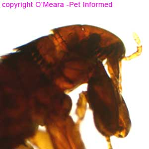 Flea pictures - This is the head of the cat and dog flea, Ctenocephalides, taken under a microscope.