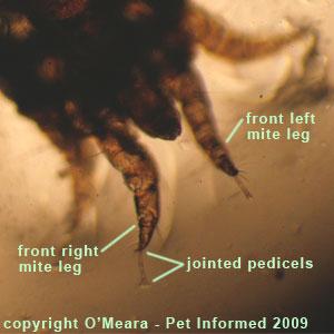 Ear mites in rabbits - the mite's leg, showing off the pretarsi (pedicel + caruncle).