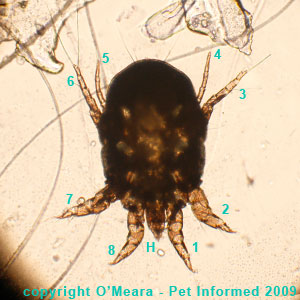 Rabbit ear mites in rabbits - a female Psoroptes cuniculi rabbit ear mite.