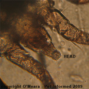 Ear mites in rabbits - The head of the rabbit ear mite.