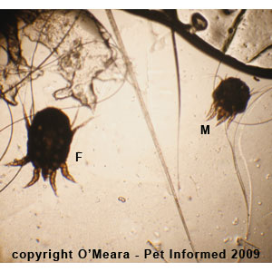 Male and female rabbit ear mites.