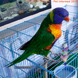 Male and female rainbow lorikeets look almost identical and often need DNA sexing in order for the gender to be determined.