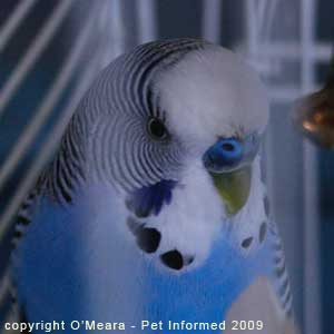 Sexing parakeets - male budgies have a blue cere.