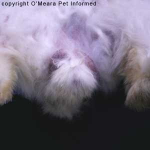 Sexing rabbits pictures - The genital region of a male rabbit. The rabbit's testicles are clearly evident.
