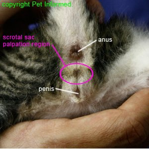 Male kitten sexing - This photo shows where to palpate for testicles in a male kitten or cat.