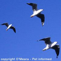 Sexing birds - Male silver gulls have stouter bills.