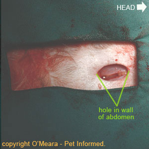 Spaying dogs or cats image - This is a close-up image of the incised abdominal wall, showing the hole entering this cat's abdominal cavity.