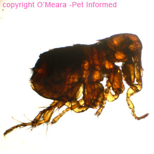 This robust little flea in the action of jumping is the rabbit flea: Spilopsyllus cuniculi. It is smaller than Ctenocephalides and much less common. It is discerned by its facial combs.