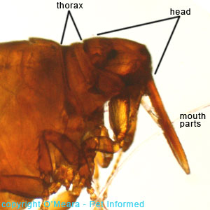 Flea pictures - the sticktight flea is a poultry or chicken flea that clings tightly to its host using giant, piercing mouthparts.
