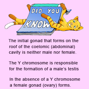 The initial gonad that forms on the roof of the embryonic abdomenal cavity is neither male or female. A Y chromosome is required to produce a testis in an embryo. In the absence of a Y chromosome, an ovary forms instead.