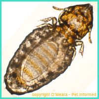 An adult louse - part of the lice life cycle that takes place on the pet's coat.
