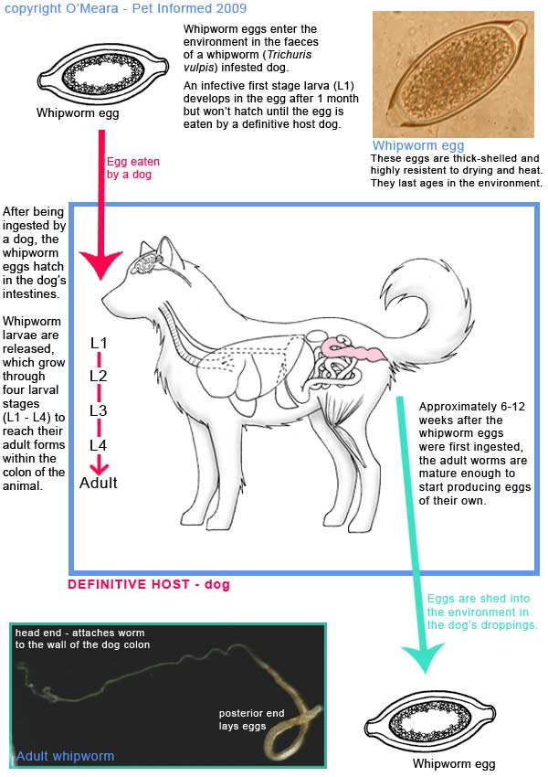 Life cycle diagram of the dog whipworm - Trichuris vulpis.